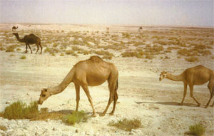 Hungry Camels in Saudi Arabia