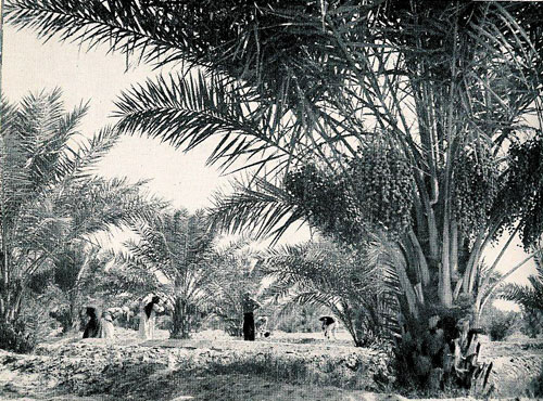 Date Grove in Saudi Arabia