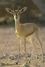 Desert Gazelle
