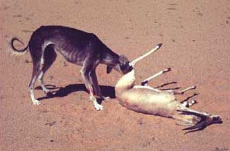 Saluki with Female Gazelle